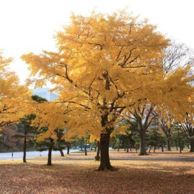 Ginkgo Trees Garden Plant