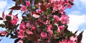 Gladiator Crabapple Tree Garden Plant