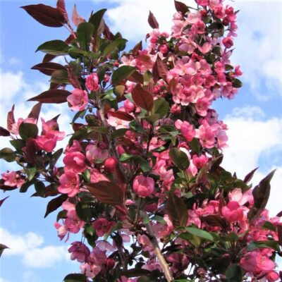 Gladiator Crabapple Tree Garden Plant