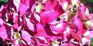 Glowing Embers Hydrangea Garden Plant