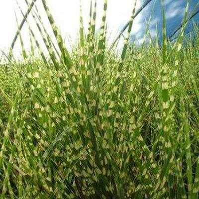 Gold Bar Maiden Grass Garden Plant