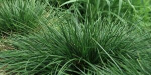 Gold Dew Tufted Hair Grass Garden Plant