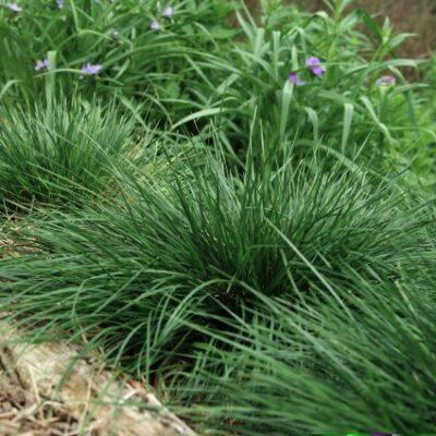 Gold Dew Tufted Hair Grass Garden Plant