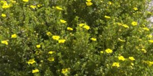 Gold Drop Potentilla Garden Plant