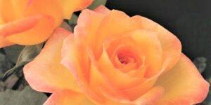 Gold Medal Rose Garden Plant
