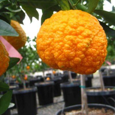 Gold Nugget Mandarin Garden Plant