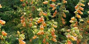 Goldcrest Foxglove Garden Plant
