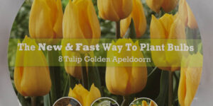 Golden Apeldoorn Tulip Easy Bloom Pad Garden Plant