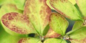 Golden Carousel Barberry Garden Plant