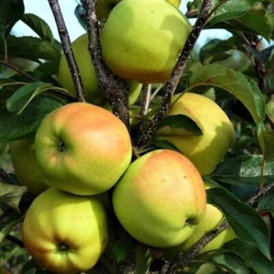 Golden Delicious Apple Tree Garden Plant