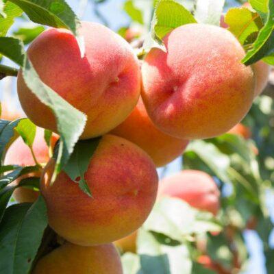 Golden Jubilee Peach Garden Plant