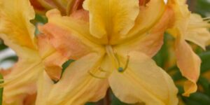 Golden Lights Azalea Garden Plant