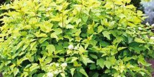Golden Ninebark Garden Plant