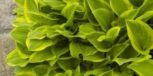 Golden Tiara Hosta Garden Plant