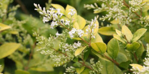 Golden Ticket Privet Garden Plant
