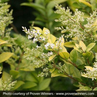 Golden Ticket Privet Garden Plant