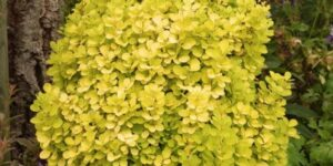 Golden Torch Barberry Garden Plant