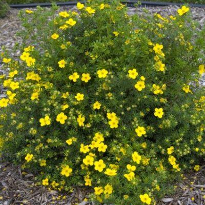 Goldfinger Potentilla Garden Plant