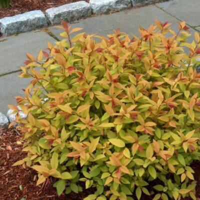 Goldflame Spirea Garden Plant