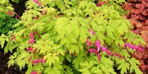 Goldheart Bleeding Heart Garden Plant