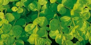 Goldilocks Moneywort Garden Plant