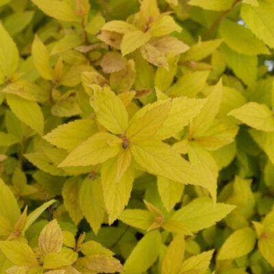 Goldmound Spirea Garden Plant