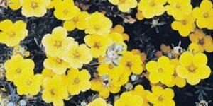 Goldstar Potentilla Garden Plant