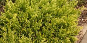 Good Vibrations Juniper Garden Plant