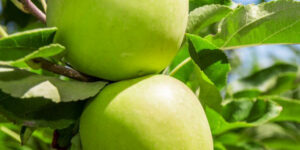 Granny Smith Apple Tree Garden Plant