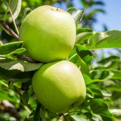 Granny Smith Apple Tree Garden Plant