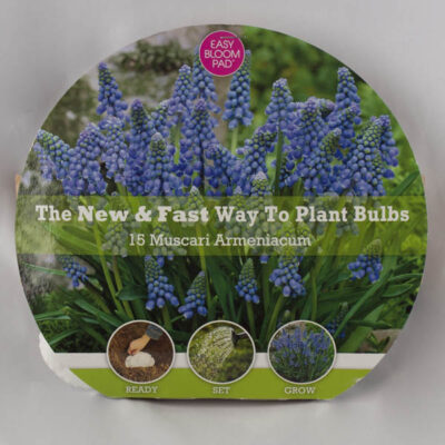 Grape Hyacinth Easy Bloom Pad Garden Plant