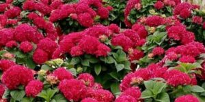 Grateful Red Hydrangea Garden Plant