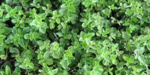 Greek Oregano Plant Garden Plant