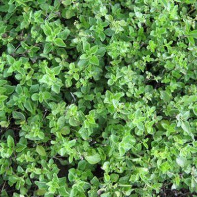 Greek Oregano Plant Garden Plant