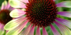 Green Envy Coneflower Garden Plant