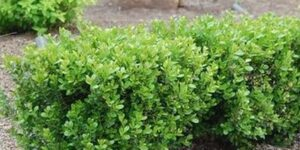 Green Gem Boxwood Garden Plant