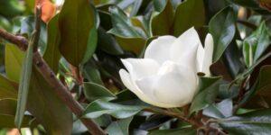 Green Giant Magnolia Garden Plant