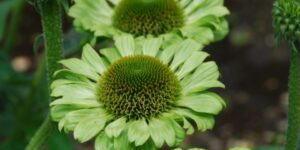 Green Jewel Coneflower Garden Plant