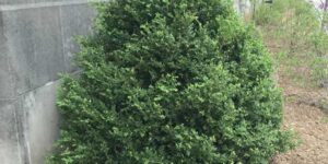 Green Mountain Boxwood Garden Plant