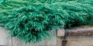Green Sargent Juniper Garden Plant