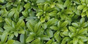 Green Sheen Japanese Spurge Garden Plant