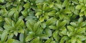 Green Sheen Japanese Spurge Garden Plant