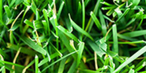 Greenspan Fescue Grass Plugs Garden Plant