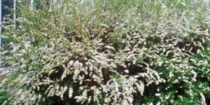 Grefsheim Spirea Garden Plant
