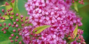 Gumball Spirea Garden Plant