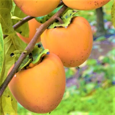 Hachiya Persimmon Garden Plant