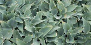 Halcyon Hosta Garden Plant