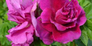 Hansa Hybrid Rugosa Rose Garden Plant