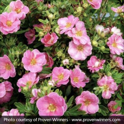 Happy Face Pink Paradise Potentilla Garden Plant