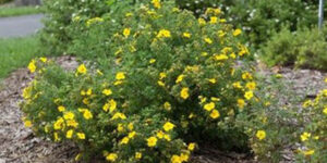 Happy Face Yellow Potentilla Garden Plant